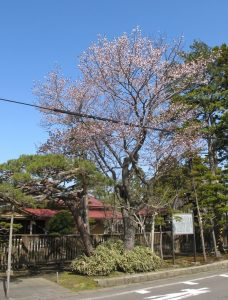 庭園入口の桜